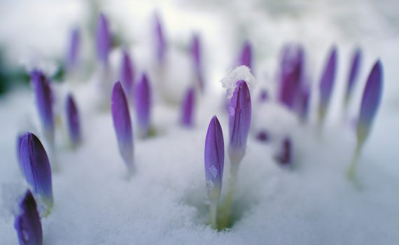 Crocus flowers in the snow